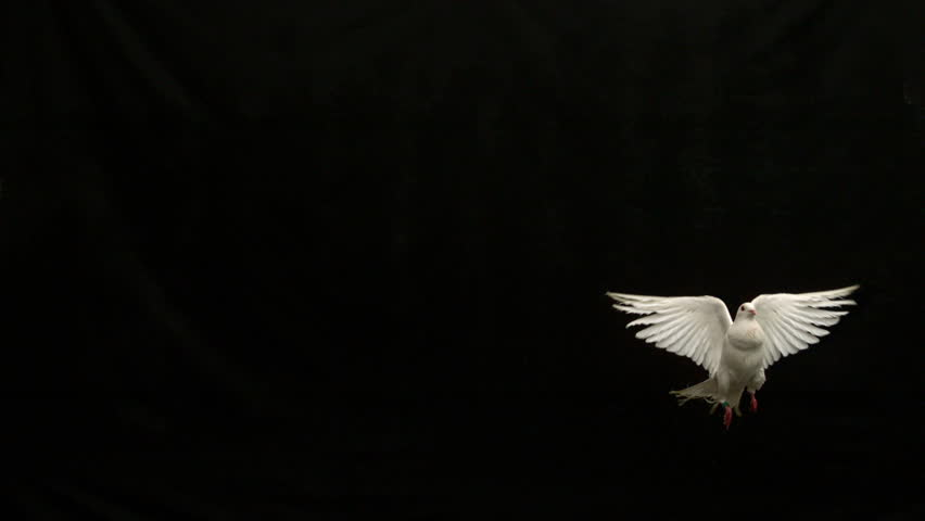 White dove of peace flying on black background in slow motion