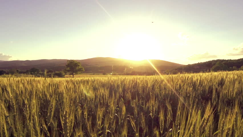 AERIAL: Flight Over The Wheat Field In Sunset Stock ...