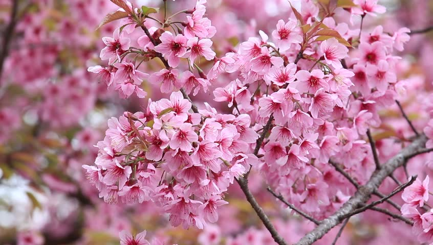 Beautiful Cherry Blossom Pink Stock Footage Video 100 Royalty