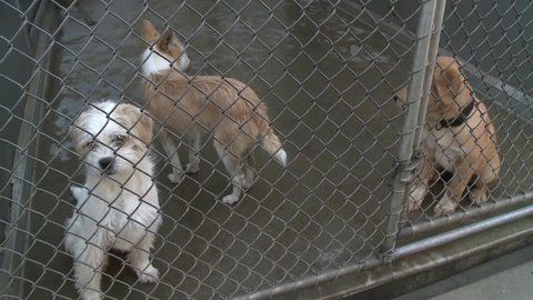 Adorable sad puppy dogs  in shelter behind fence depressed  at animal shelter hoping to be rescued and adopted stock video clip 1080 1920x1080 HD