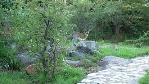 A beautiful klipspringer in a garden setting stares at the viewer.