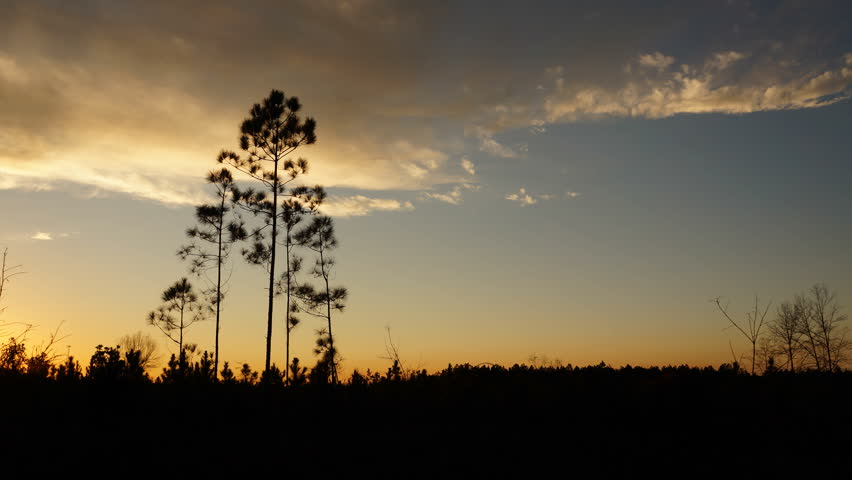 Time lapse of pine saplings at sunset with passing clouds