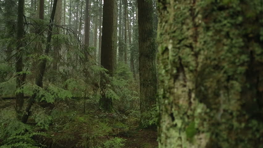 Fir Trees, Rainforest Camera Move. A camera dolly move past a tree in a temperate rainforest of the Pacific Northwest. #5643371