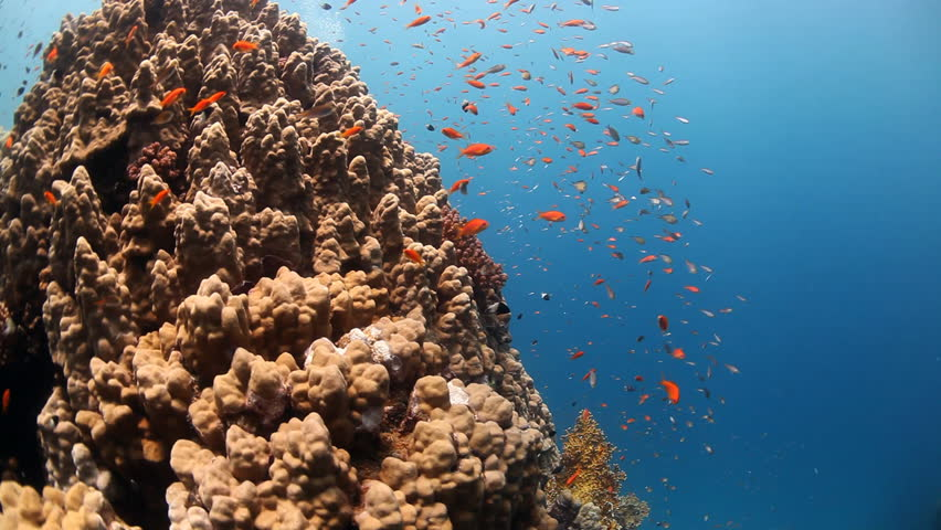 orange reef fish with corals and diver
