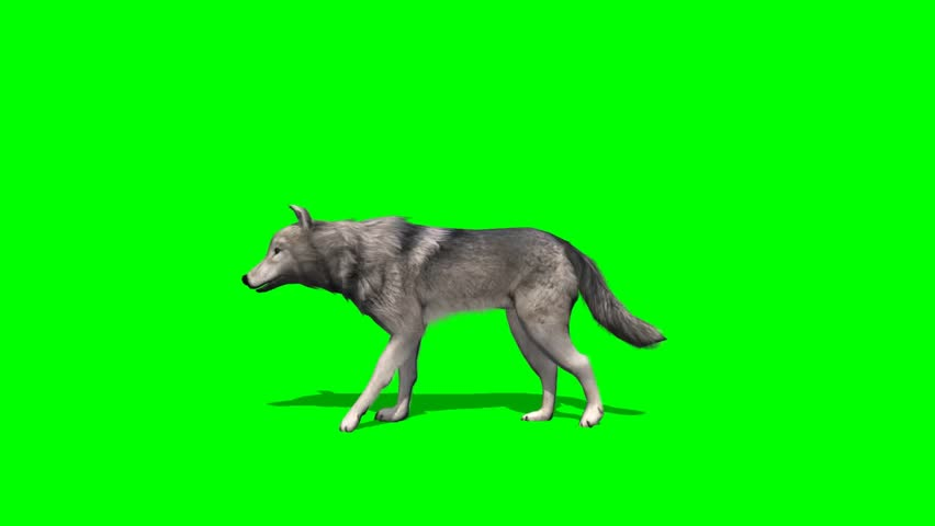 wolf walks fast - seperated on green screen  #5644967