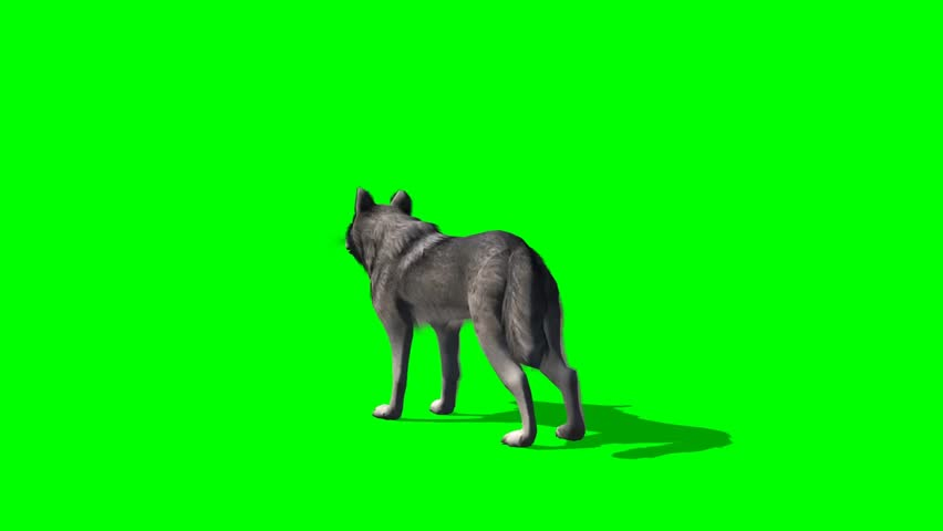 wolf howls - seperated on green screen  #5644997