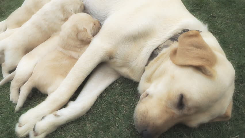 Close Up Of Labrador Puppies Stock Footage Video 100 Royalty Free