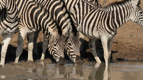 Plains (Burchells) zebras (Equus burchelli) drinking water, Pilanesberg National Park, South Africa