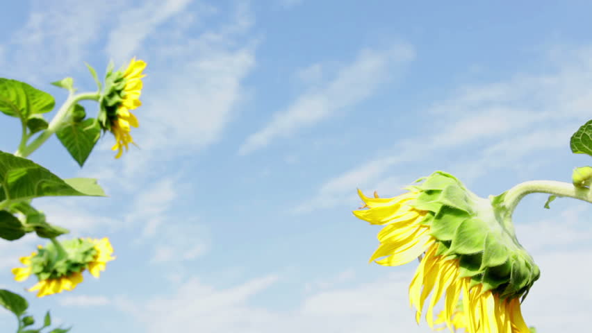 HD 1080 static: Sunflower plants shaking on light wind upon a blue sky; Wide angle lens, low angle view;