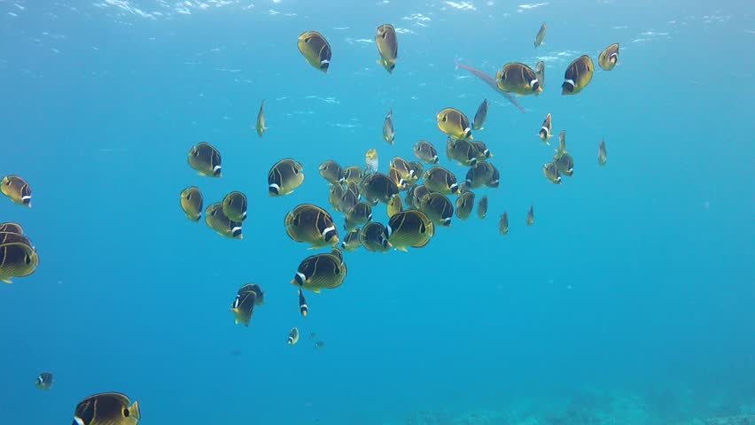 Raccoon Butterfly Fish swarm out into the open water on Hawaii.