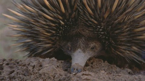 echidna's snout and eye on termite mound