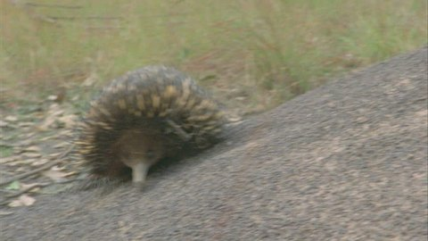 of echidna as it walks from termite mound in background to termite mound in foreground, proceeds to dig
