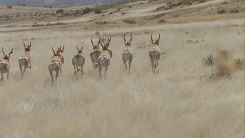 Beautiful lengthy shot of a herd of pronghorn running over grasslands Helicopter shot slow motion