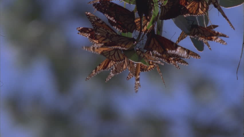 cluster of butterflies on pine needles tilt up