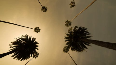 Palm Trees against Golden Sky - Driving underneath Palm Trees in Beverly Hills or Tropical Paradise - Silhouette of Coconut Trees