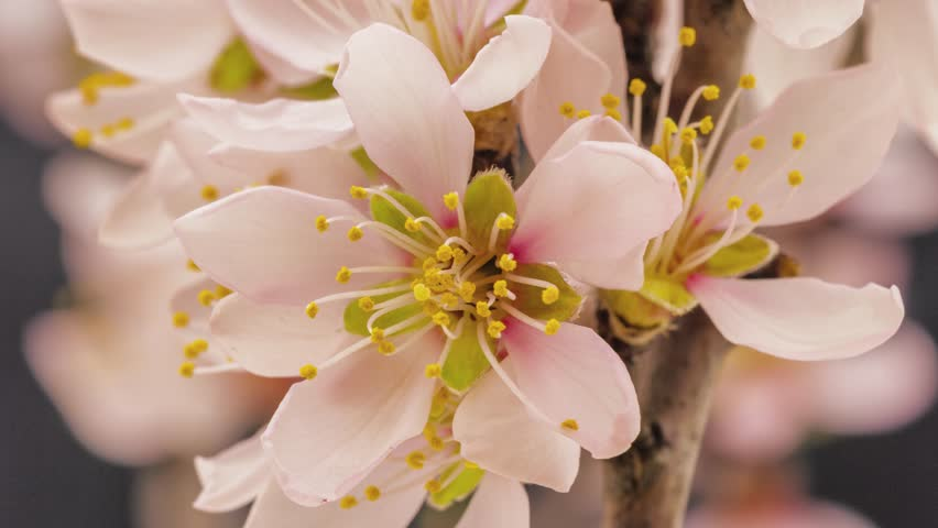 4k 25 fps time lapse video of an apricot flower growing and blossoming on a dark background/Apricot flower blooming macro time lapse