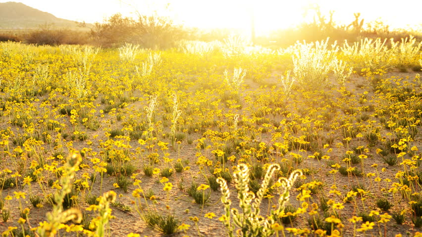 Time Lapse of Sunset over Golden Flower Carpet in Mojave Desert -Pan-
