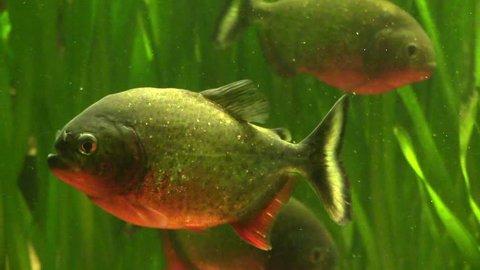 Piranha among the seaweed