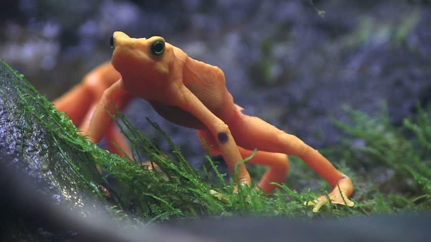 Beautiful orange frogs in the rainforest.