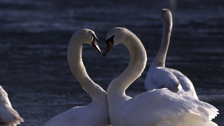 Two swans float next to each other and with their heads and necks make a heart shape. Slow motion shot.