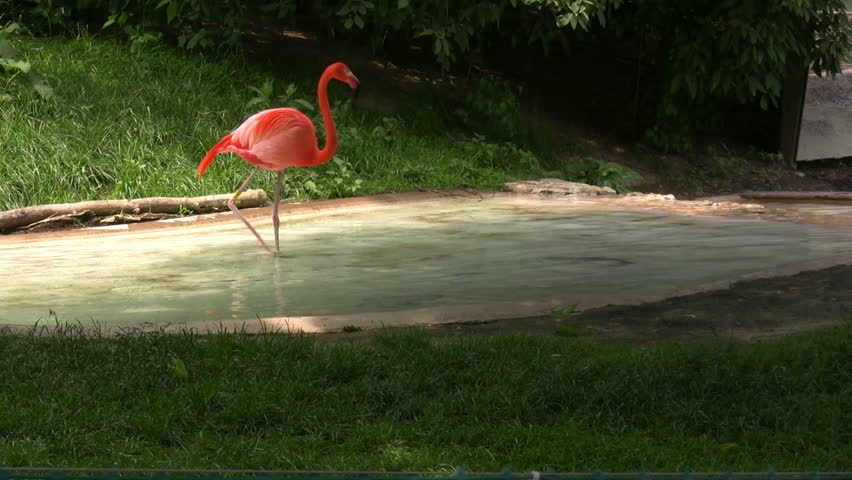 Flamingo dragging beak across Water