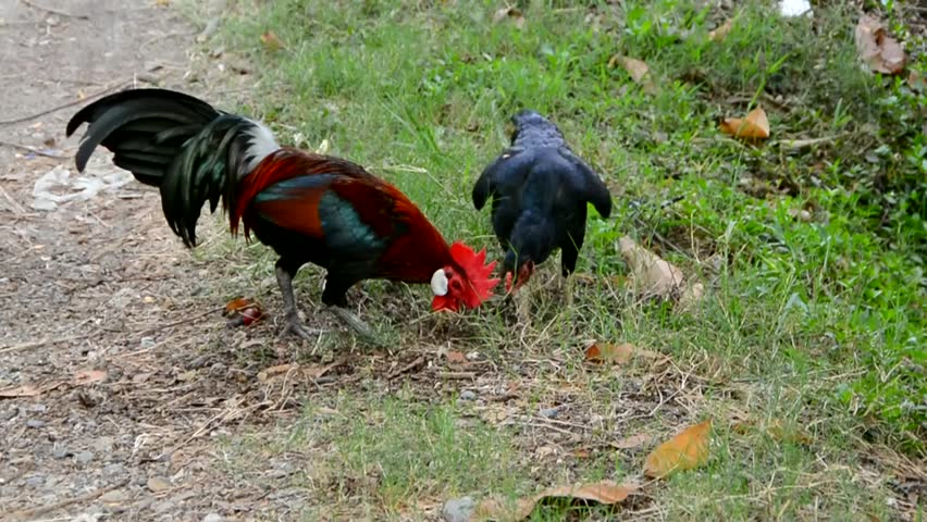 Rare Scene Of Beautiful Couple Bantam Chicken Is Royalty Free Video