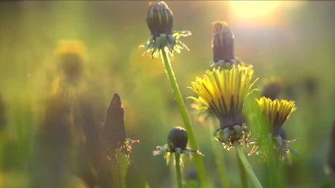 Spring field. Dandelion flowers closeup against sunset sky. Nature scene. Slow motion 1080 full HD video footage. High speed camera shot