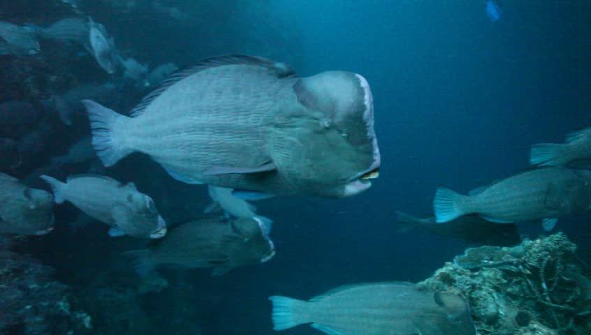 MS bumphead parrotfish swimming towards camera and away.   Shutterstock HD Video #6207707