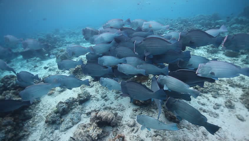 WS school of bumphead parrotfish resting and view from top | Shutterstock HD Video #6213767