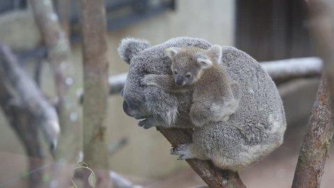 Australian Koala Bear with her baby