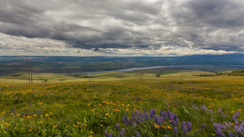 Lupine and Balsamroot Wildflowers Blooming Spring Season in Maryhill Washington Rolling Hills Landscape with Sun Dark Clouds and Sky on a Stormy Day Time Lapse  1920x1080