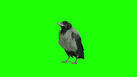 Crow stays stationary and cleans himself on green screen. Shot with Red Epic.