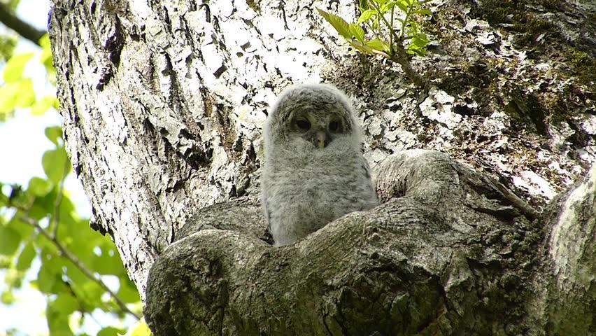 """Owl cute face. -28 / Shooting date; May 29, 2014. Location: """"Shinrinkouen"""" Hokkaido, Japan /  Baby owl bathing in the morning sun.  """"Ezofukurou"""" species name. Owl Japan cute face"""