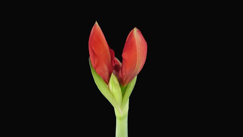 "Time-lapse opening ""Red Lion"" amaryllis Christmas flower"