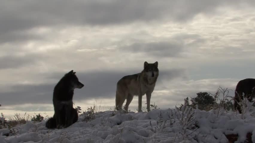 Wolf Several Winter Dusk Snow Gray Sky Ridgetop Pack