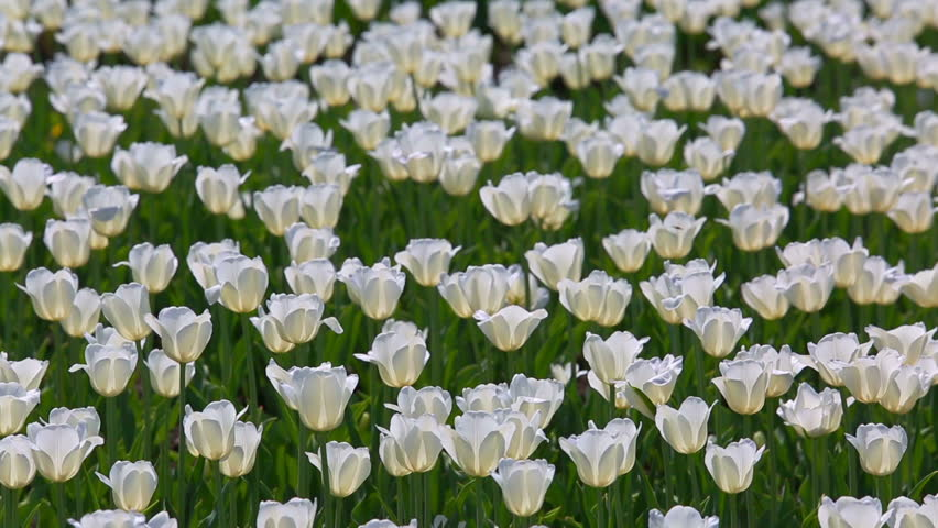 Field of white tulips blooming | Shutterstock HD Video #6511700