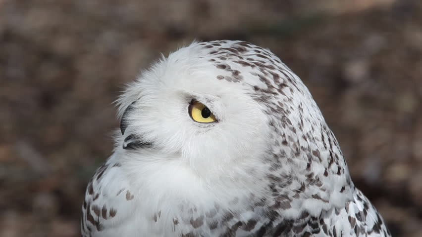 HD footage of a beautiful Snowy owl (Bubo scandiacus) in nature