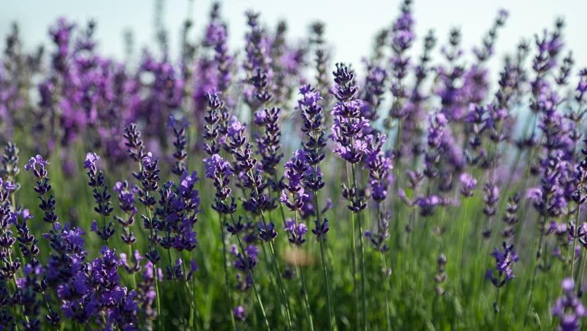 Flowering sprigs of lavender swaying in the wind