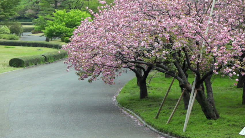 Sakura Trees With Pink Blossoming Stock Footage Video 100 Royalty