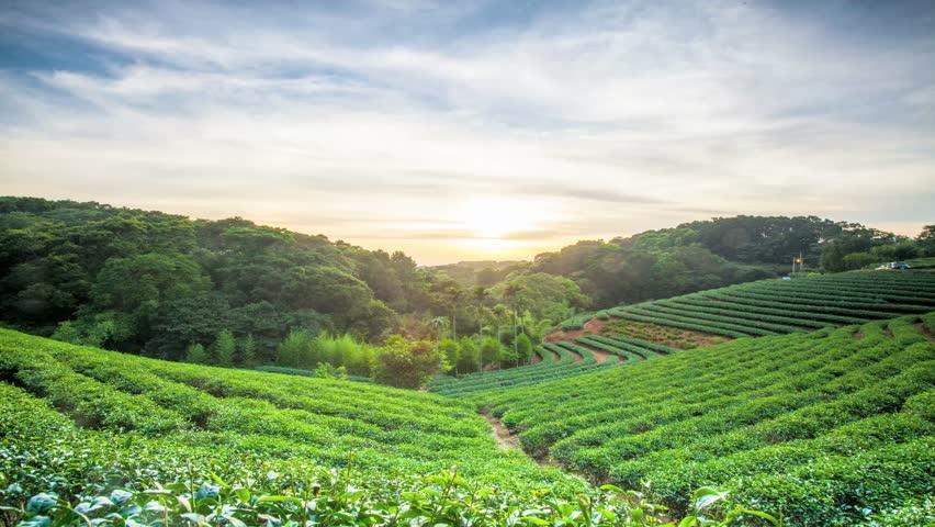 Time lapse of tea plantation landscape sunset