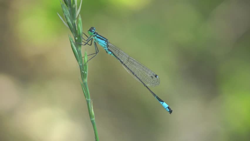 Azure Damselfly dragonfly insect macro blue | Shutterstock HD Video #6665117
