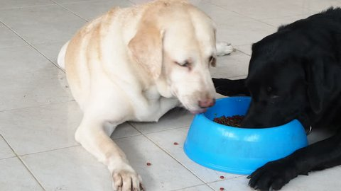 Dog eats food from bowl, a black and a yellow labrador