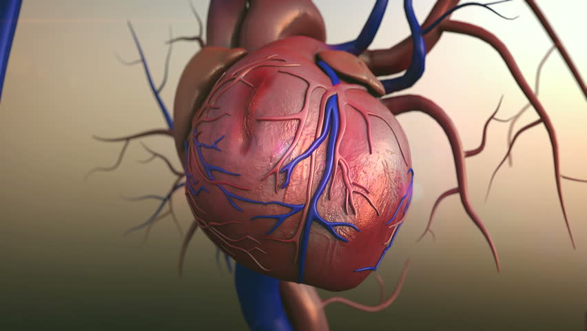 Human Heart Human Heart Model Full Clipping Royalty Free Video