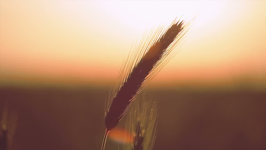 Sunset on field at summer. ears of wheat sun against. RAW video record. | Shutterstock HD Video #6711427