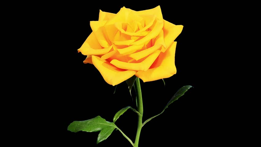 Blooming yellow roses flower buds stock footage video 100 royalty save mightylinksfo