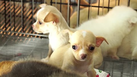 Cute chiwawa pups inside a cage on display for sale