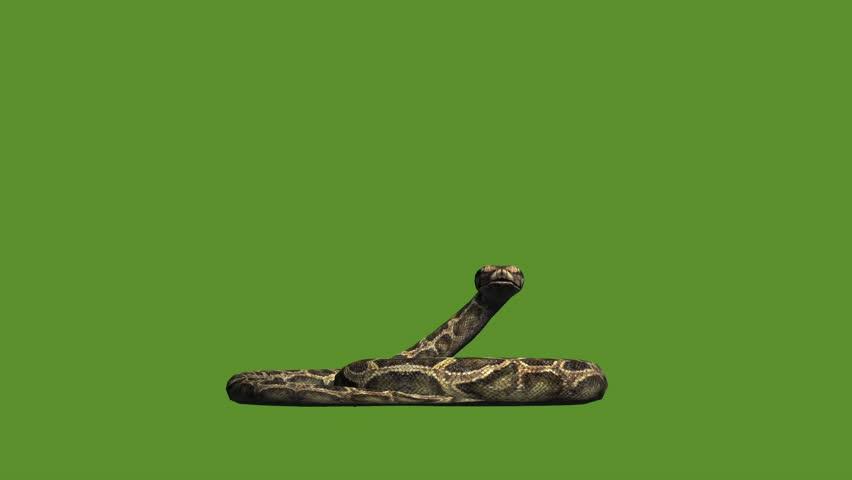 Snake & jungle carpet python attack,sliding decorative non venomous,wild animal herpetology background. cg_01920