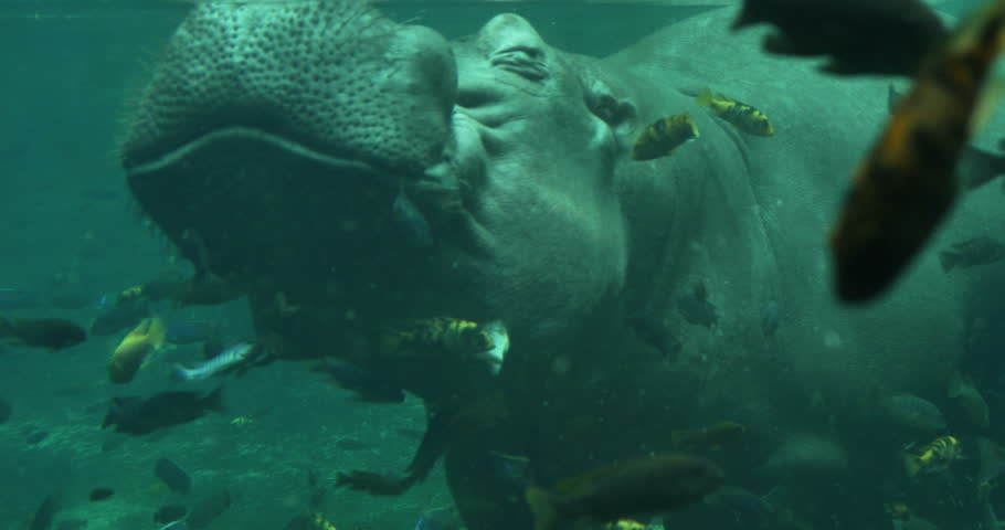 Hippopotamus Under the Water with Fish Swimming