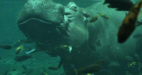 Hippopotamus Under the Water with Fish Swimming