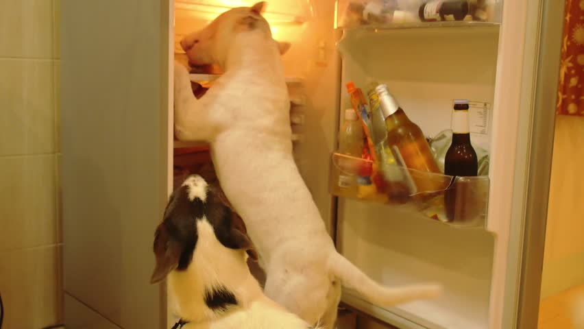 Hungry Dog Bull-Terrier Eating Food in the Refrigerator. Funny Video.